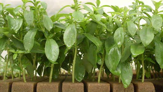 foto planta stevia