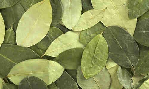 fotos planta coca
