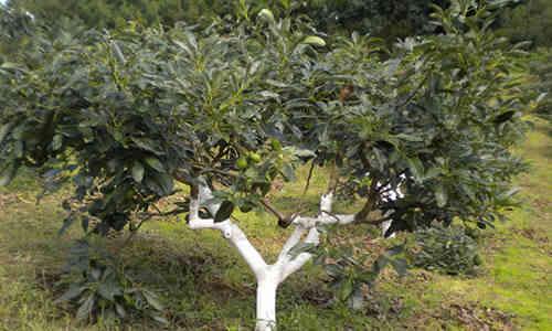 foto planta aguacate