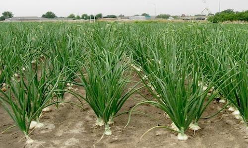 fotos planta cebollas
