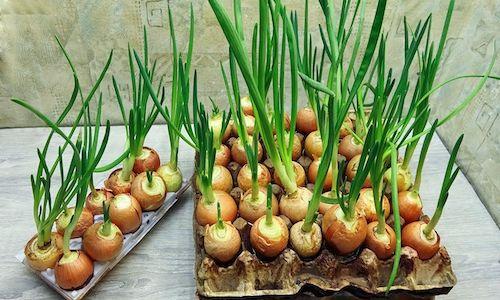 fotos planta cebolla