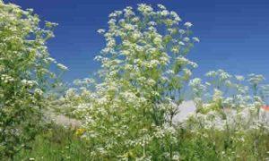 fotos planta cicuta