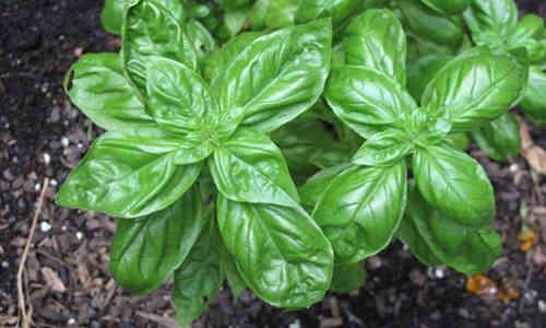 fotos planta albahaca