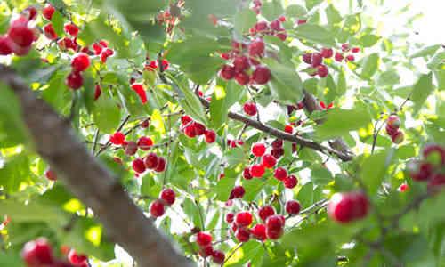 fotos fruto cerezo