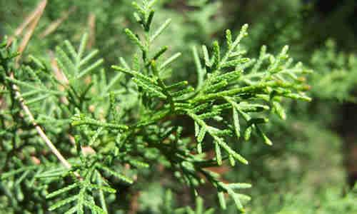 fotos hojas cipres
