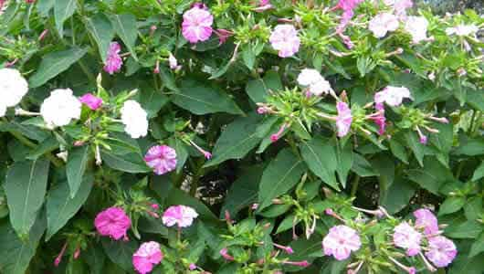 fotos planta jalapa