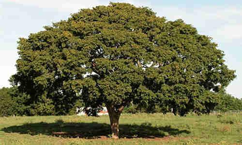 fotos arbol guayacan