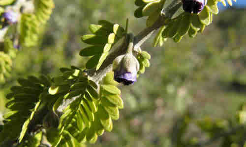 fotos fruto guayacan
