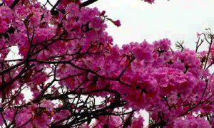 fotos flores guayacan