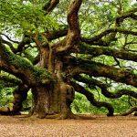 Roble, árbol Conocido con Propiedades CurativaS