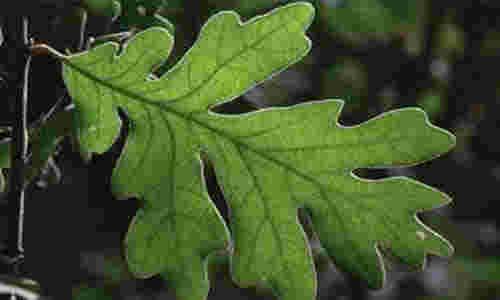 fotos hojas roble