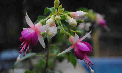 fotos flores sandalo