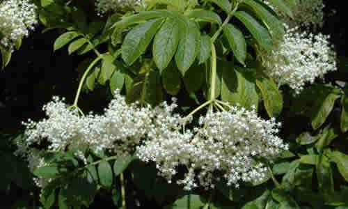 fotos flores sauco