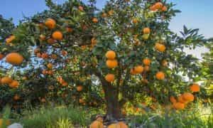 fotos árbol naranjo