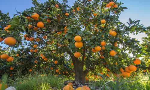 fotos planta naranja
