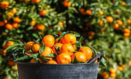 fotos planta naranjo