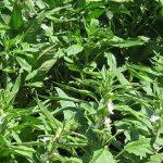 fotos planta de sesamo