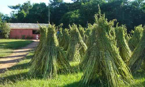 fotos cosecha de sesamo