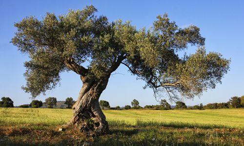 fotos arbol olivo
