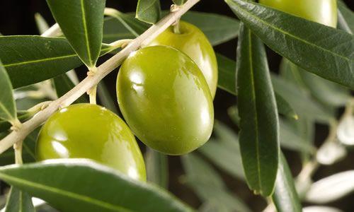 fotos planta olivo