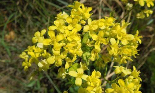 fotos flores amarilla adelfa
