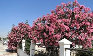 fotos arbol adelfa