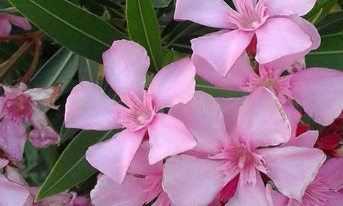 fotos flores adelfa