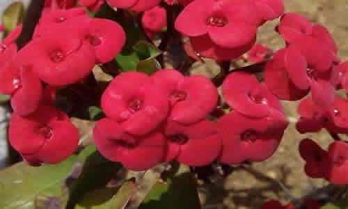 fotos paliuro flores