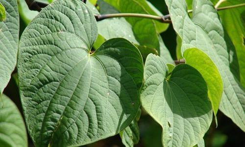 fotos hojas kava