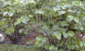 Descubre qué se esconde detrás de la Kava