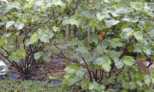 fotos planta Kava