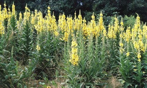 fotos planta verbasco