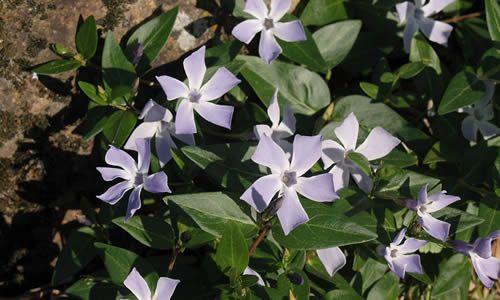 fotos flores Alcandorea