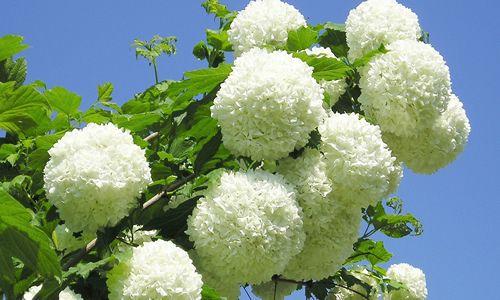 fotos flores Bola de nieve