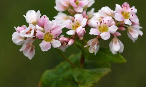foto Trigo sarraceno flores