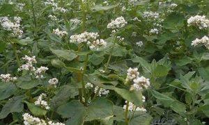 foto Trigo sarraceno planta