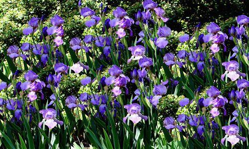fotos planta lirio flores