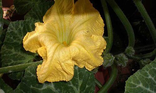 fotos flores calabaza