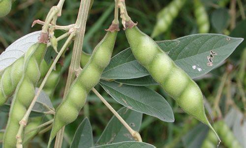 fotos planta judia fruto