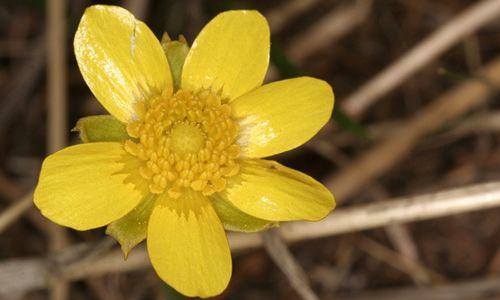 fotos planta Flor de San Diego