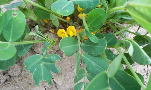 foto Planta cacahuete flor