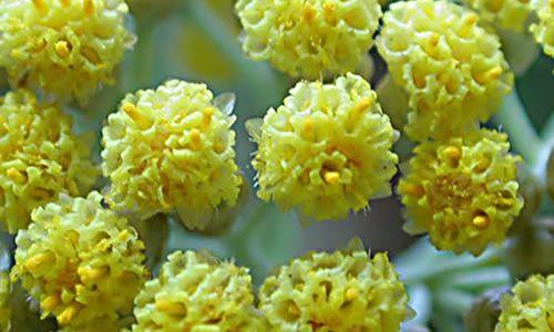 foto planta helicriso flores