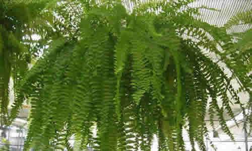 fotos planta Calaguala