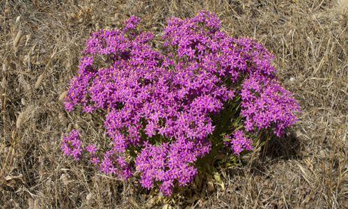 plantas fotos centaura menor