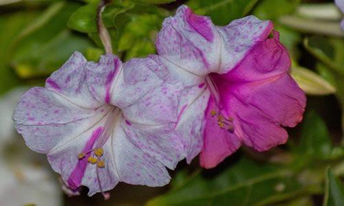 fotos flores Don diego de Noche