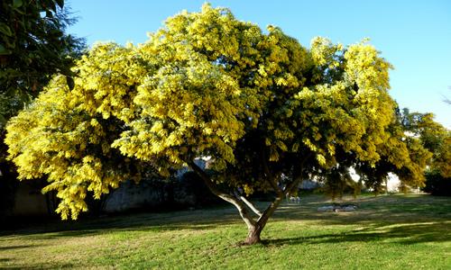 fotos del arbol aromo