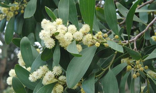 fotos del aromo hojas