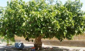 La Higuera, un árbol tan antiguo como medicinal