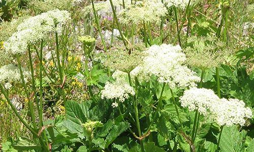 fotos planta imperatoria