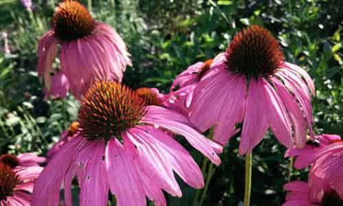 fotos planta Equinacea flor